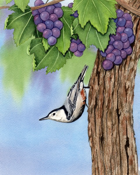 Diane Pope, Vineyard Nuthatch